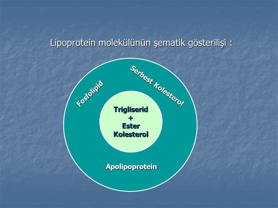 Lipoprotein molekülünün şematik gösterilişi :