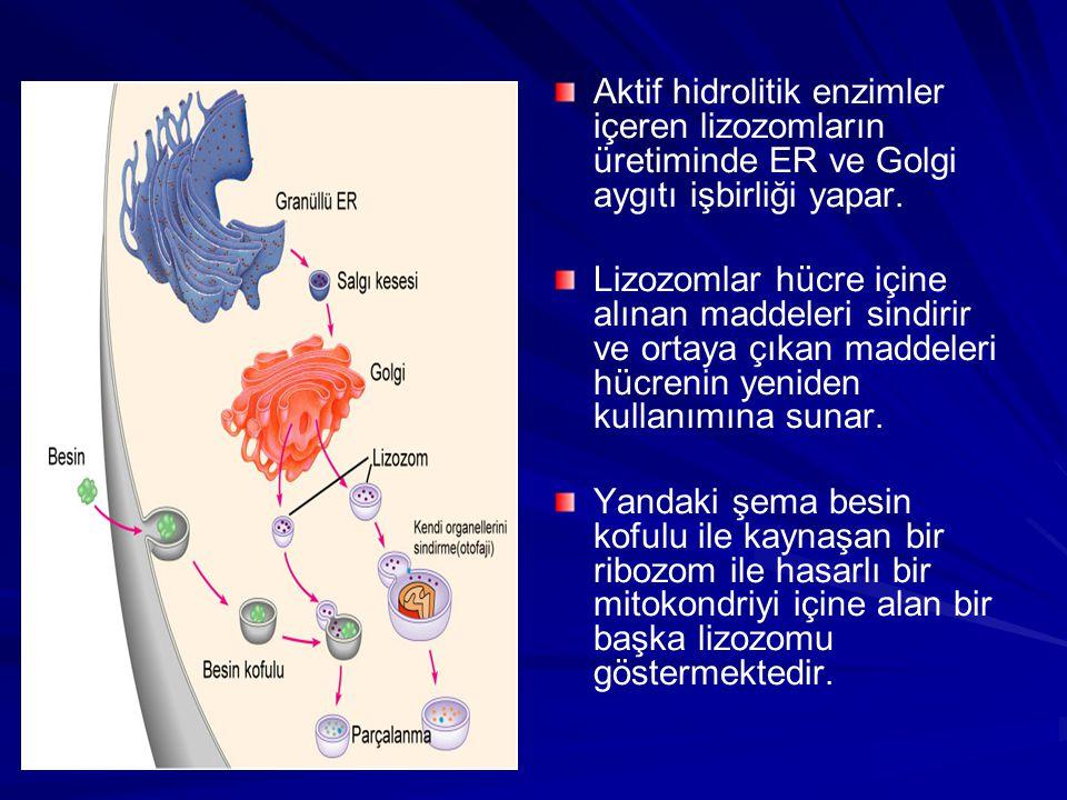 Aktif hidrolitik enzimler içeren lizozomların üretiminde ER ve Golgi aygıtı işbirliği yapar.