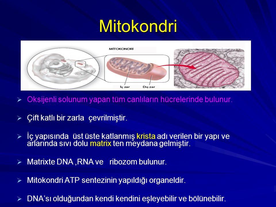 Mitokondri Oksijenli solunum yapan tüm canlıların hücrelerinde bulunur. Çift katlı bir zarla çevrilmiştir.