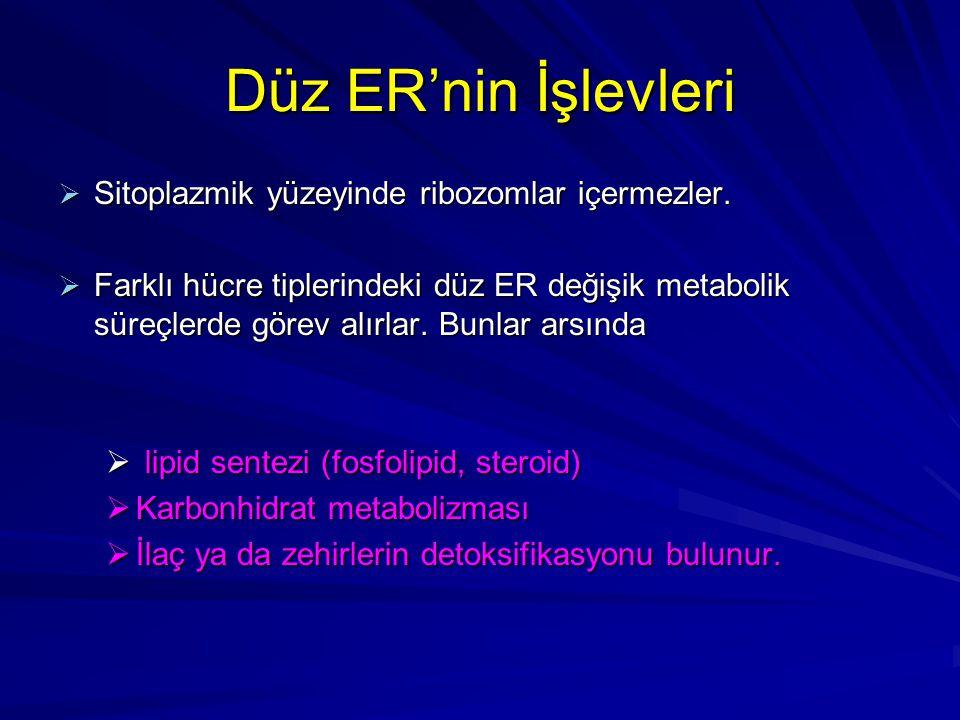 Düz ER'nin İşlevleri Sitoplazmik yüzeyinde ribozomlar içermezler.
