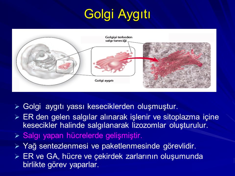 Golgi Aygıtı Golgi aygıtı yassı keseciklerden oluşmuştur.