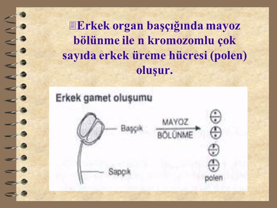 Erkek organ başçığında mayoz bölünme ile n kromozomlu çok sayıda erkek üreme hücresi (polen) oluşur.