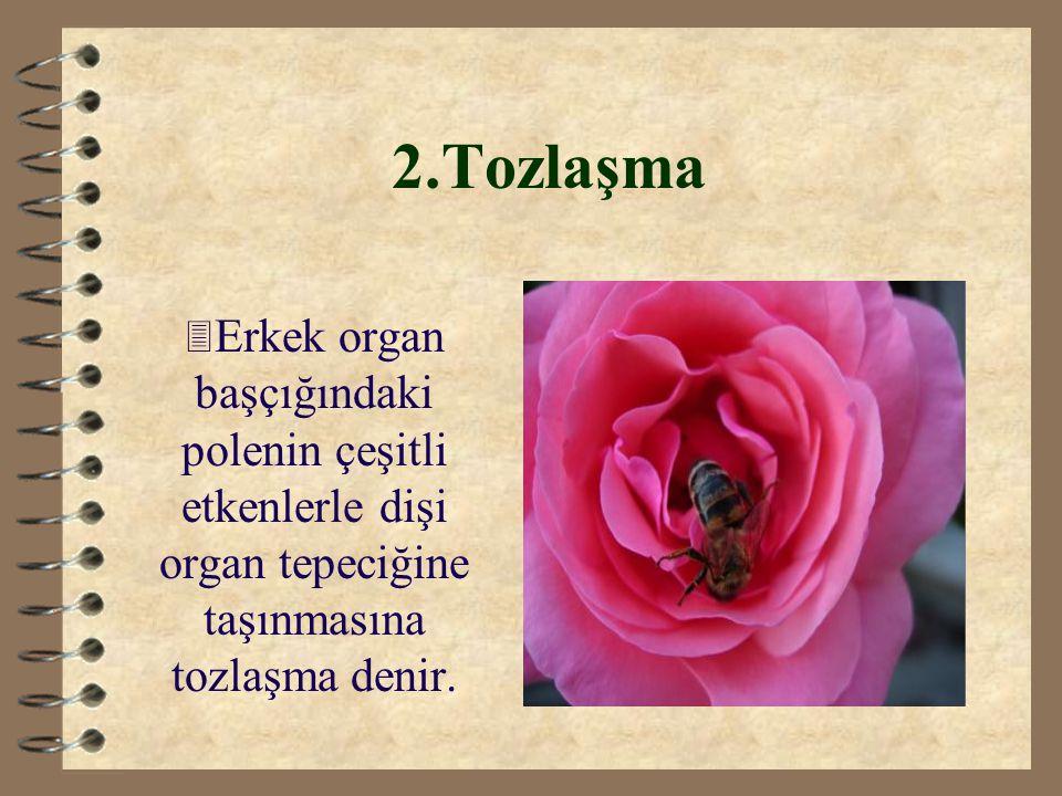 2.Tozlaşma Erkek organ başçığındaki polenin çeşitli etkenlerle dişi organ tepeciğine taşınmasına tozlaşma denir.