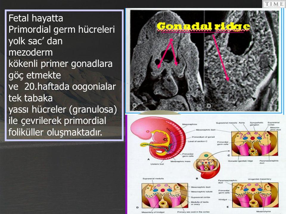 Fetal hayatta Primordial germ hücreleri yolk sac' dan. mezoderm. kökenli primer gonadlara göç etmekte.