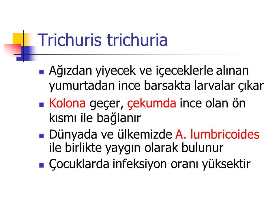 Trichuris trichuria Ağızdan yiyecek ve içeceklerle alınan yumurtadan ince barsakta larvalar çıkar.