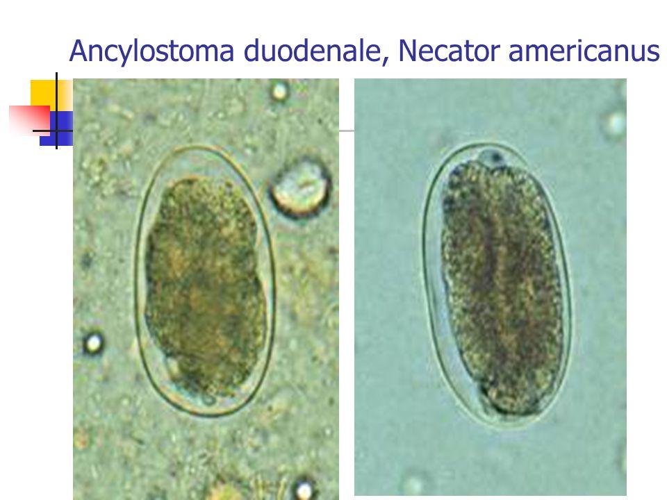 Ancylostoma duodenale, Necator americanus