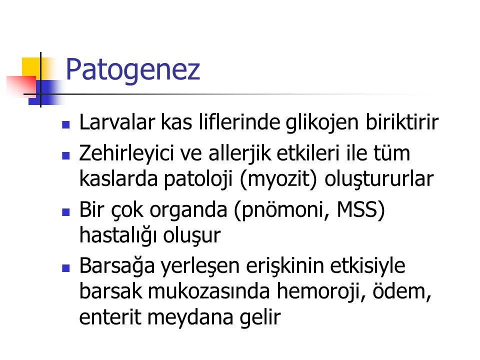 Patogenez Larvalar kas liflerinde glikojen biriktirir
