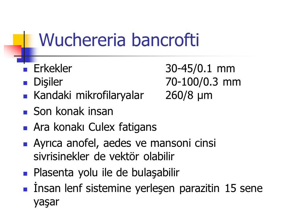 Wuchereria bancrofti Erkekler 30-45/0.1 mm Dişiler 70-100/0.3 mm