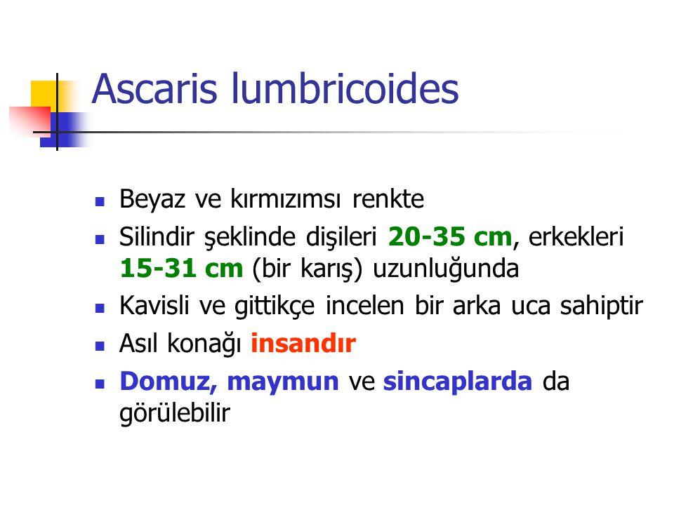 Ascaris lumbricoides Beyaz ve kırmızımsı renkte