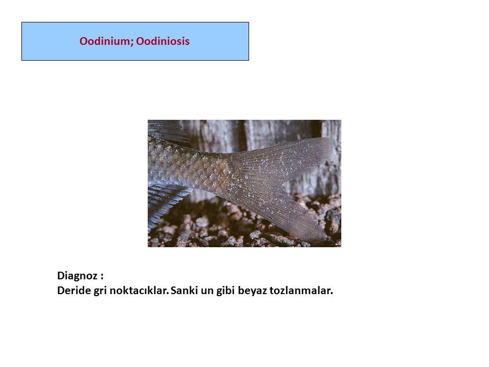 Oodinium; Oodiniosis Diagnoz : Deride gri noktacıklar. Sanki un gibi beyaz tozlanmalar.