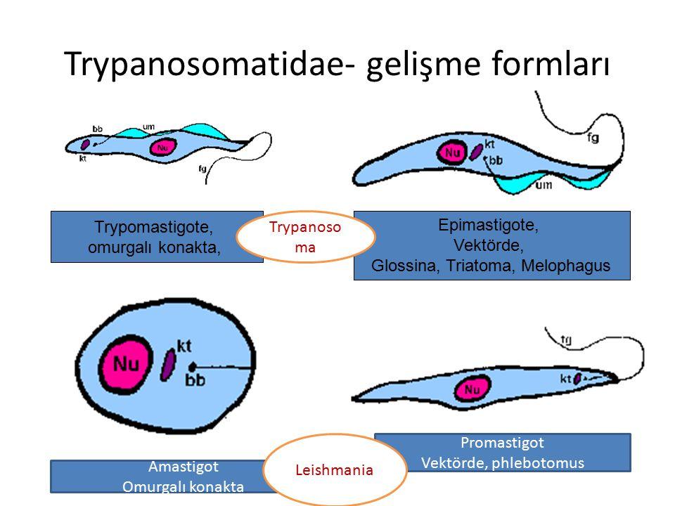 Trypanosomatidae- gelişme formları