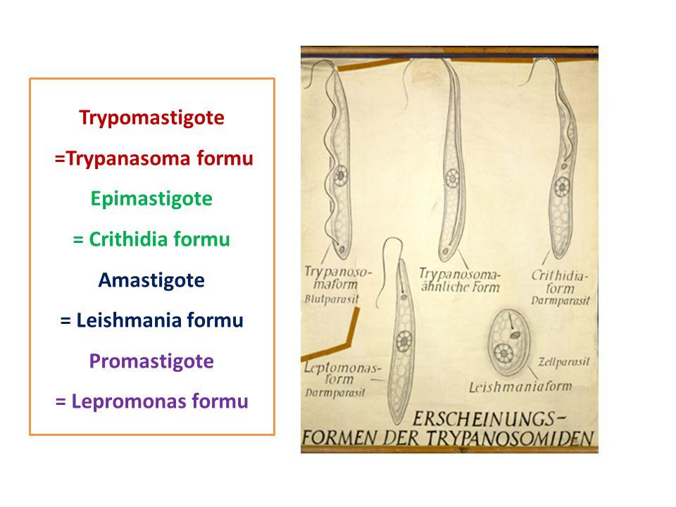 Trypomastigote =Trypanasoma formu. Epimastigote. = Crithidia formu. Amastigote. = Leishmania formu.