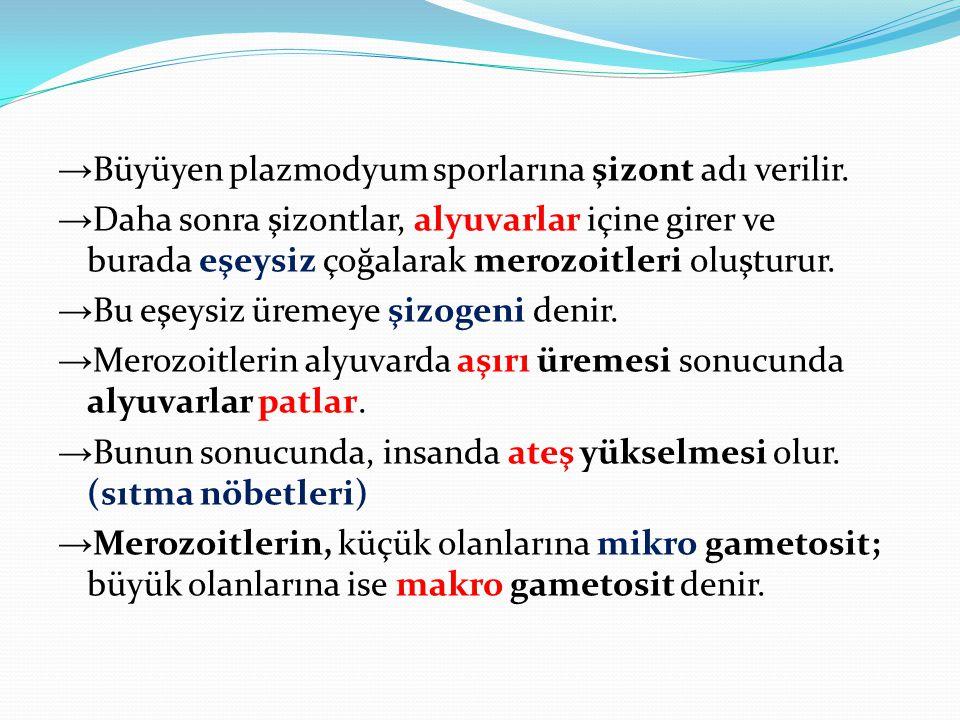 →Büyüyen plazmodyum sporlarına şizont adı verilir