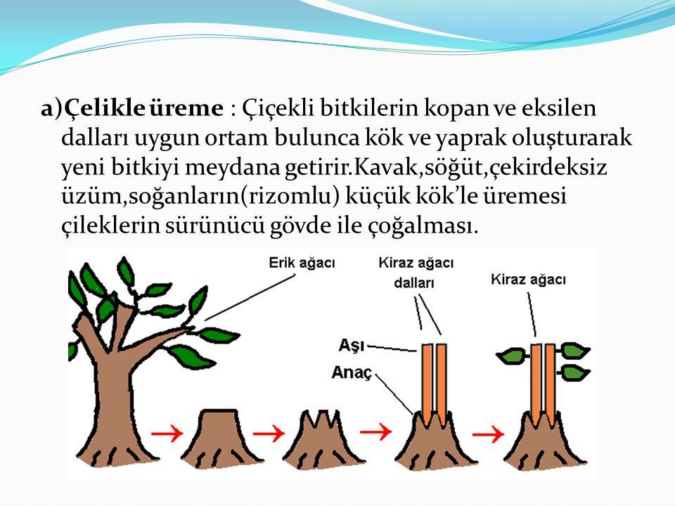 a)Çelikle üreme : Çiçekli bitkilerin kopan ve eksilen dalları uygun ortam bulunca kök ve yaprak oluşturarak yeni bitkiyi meydana getirir.Kavak,söğüt,çekirdeksiz üzüm,soğanların(rizomlu) küçük kök'le üremesi çileklerin sürünücü gövde ile çoğalması.