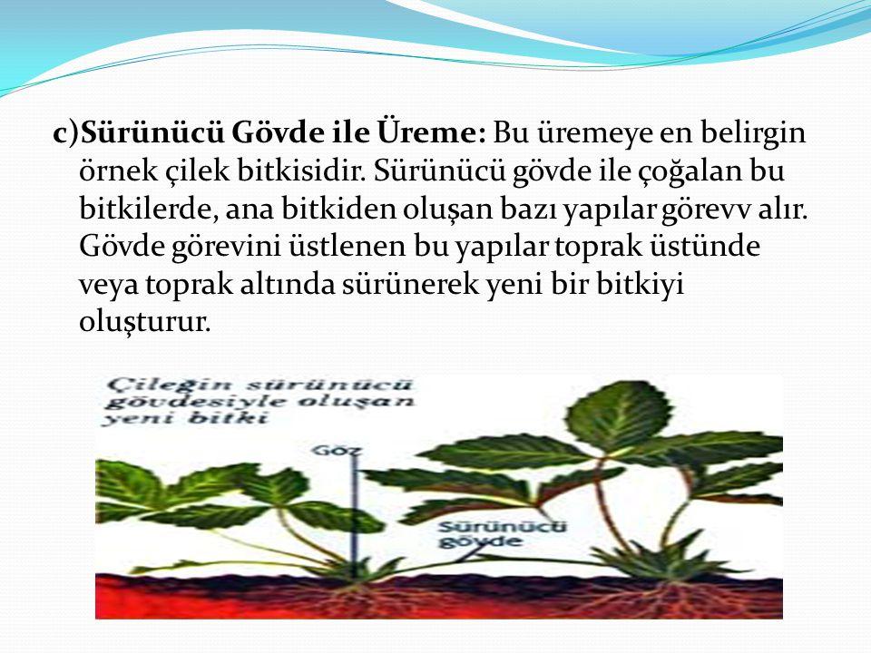 c)Sürünücü Gövde ile Üreme: Bu üremeye en belirgin örnek çilek bitkisidir.