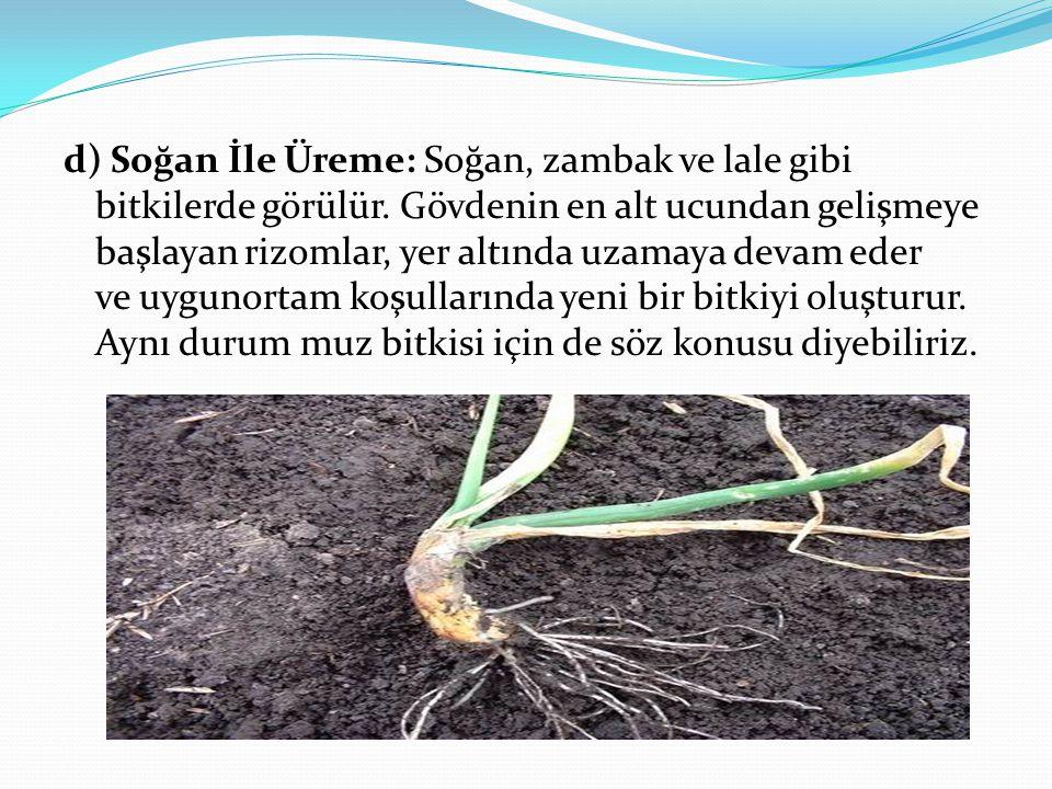 d) Soğan İle Üreme: Soğan, zambak ve lale gibi bitkilerde görülür