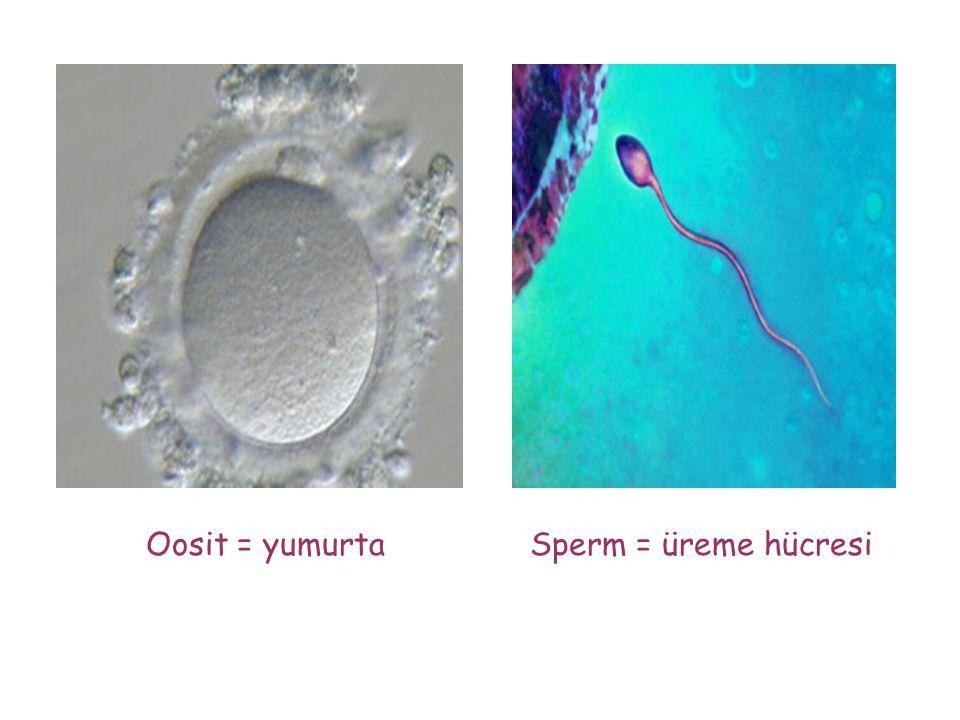 Oosit = yumurta Sperm = üreme hücresi