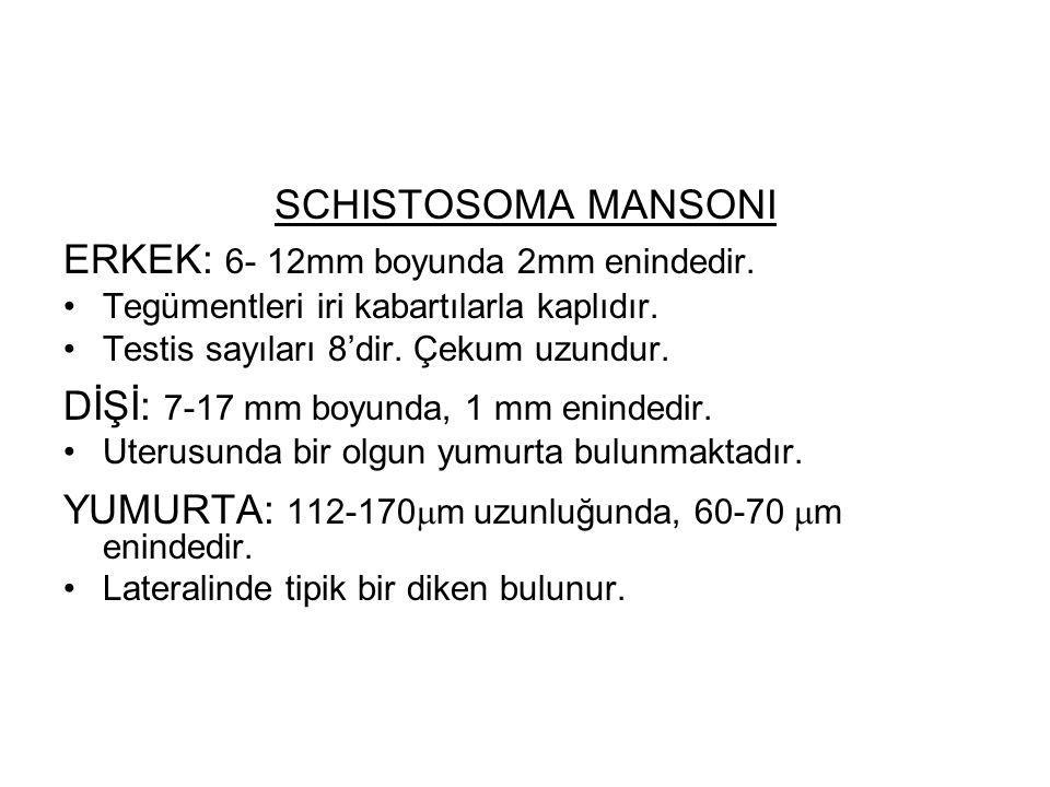 ERKEK: 6- 12mm boyunda 2mm enindedir.