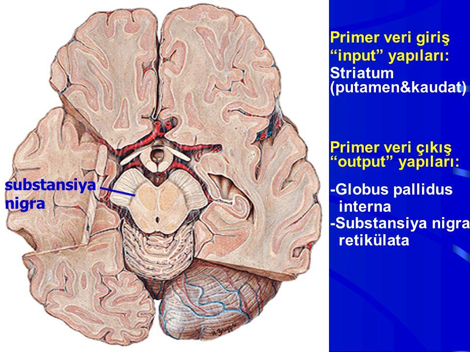 Primer veri giriş input yapıları: Striatum (putamen&kaudat) Primer veri çıkış. output yapıları: