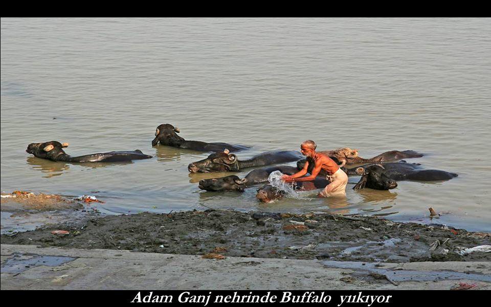 Adam Ganj nehrinde Buffalo yııkıyor
