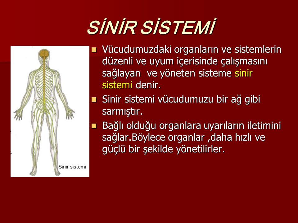 SİNİR SİSTEMİ Vücudumuzdaki organların ve sistemlerin düzenli ve uyum içerisinde çalışmasını sağlayan ve yöneten sisteme sinir sistemi denir.