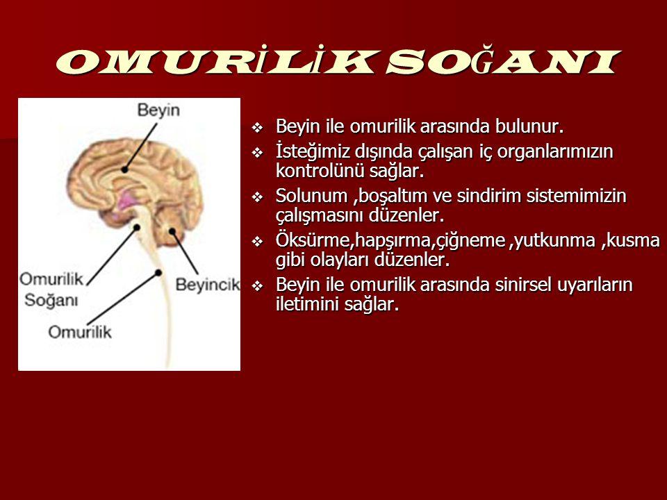 OMURİLİK SOĞANI Beyin ile omurilik arasında bulunur.
