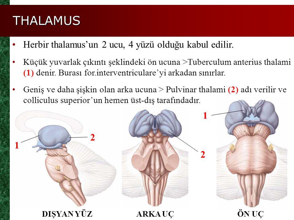 THALAMUS Herbir thalamus'un 2 ucu, 4 yüzü olduğu kabul edilir. 1 2 1 2