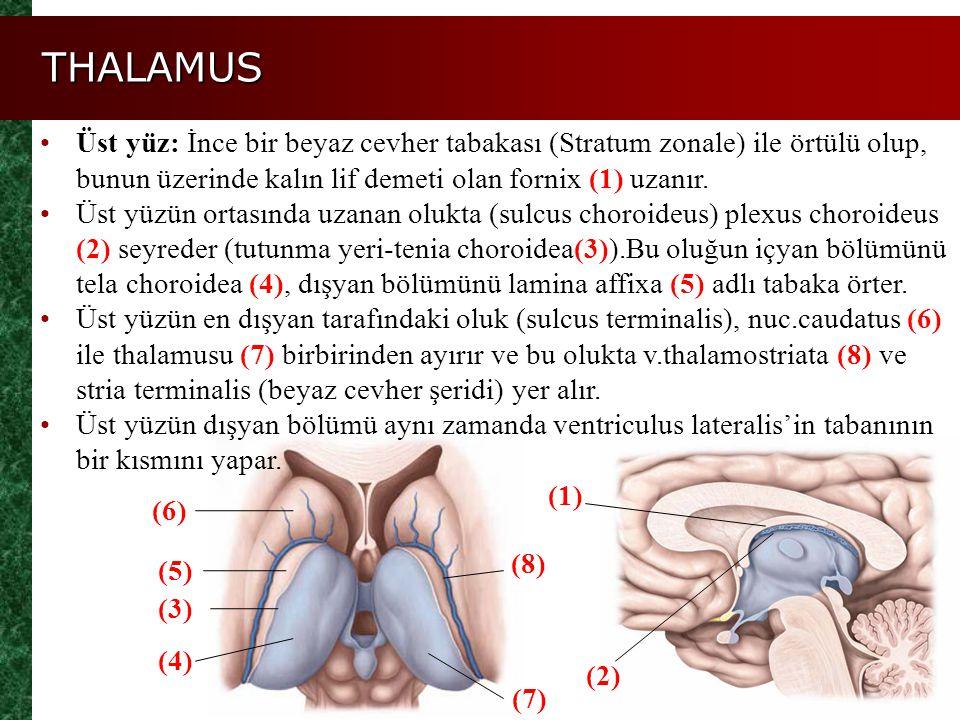 THALAMUS Üst yüz: İnce bir beyaz cevher tabakası (Stratum zonale) ile örtülü olup, bunun üzerinde kalın lif demeti olan fornix (1) uzanır.