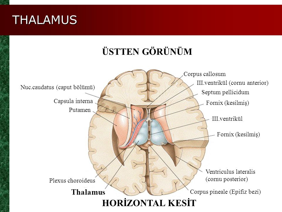 THALAMUS ÜSTTEN GÖRÜNÜM HORİZONTAL KESİT Thalamus Corpus callosum