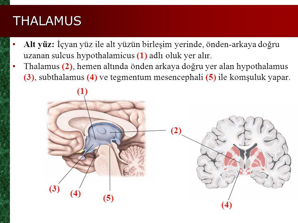 THALAMUS Alt yüz: İçyan yüz ile alt yüzün birleşim yerinde, önden-arkaya doğru uzanan sulcus hypothalamicus (1) adlı oluk yer alır.