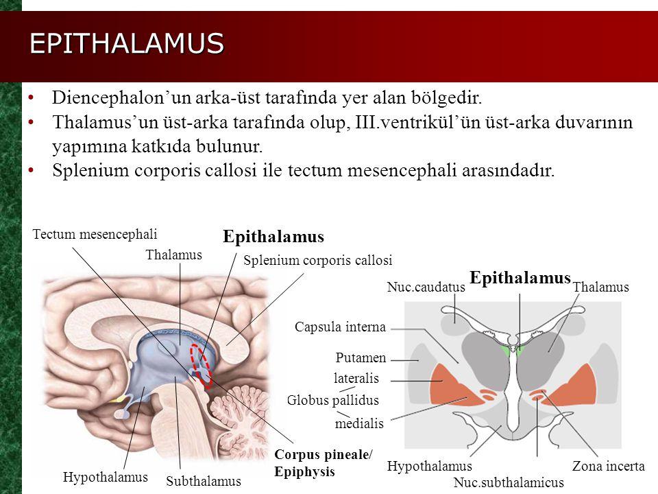 EPITHALAMUS Diencephalon'un arka-üst tarafında yer alan bölgedir.