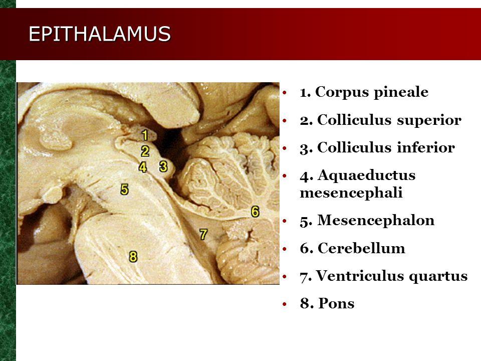 EPITHALAMUS 1. Corpus pineale 2. Colliculus superior