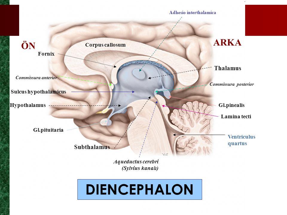 DIENCEPHALON ARKA ÖN Thalamus Subthalamus Corpus callosum Fornix