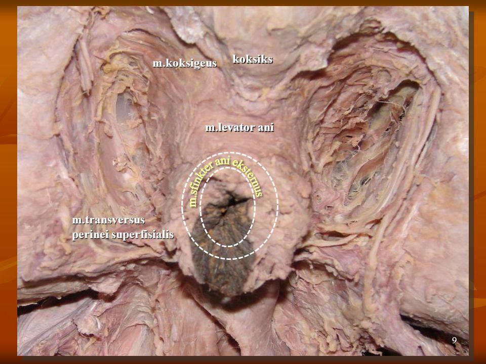 koksiks m.koksigeus m.levator ani m.sfinkter ani eksternus m.transversus perinei superfisialis