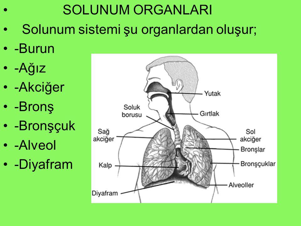 SOLUNUM ORGANLARI Solunum sistemi şu organlardan oluşur; -Burun. -Ağız. -Akciğer. -Bronş. -Bronşçuk.