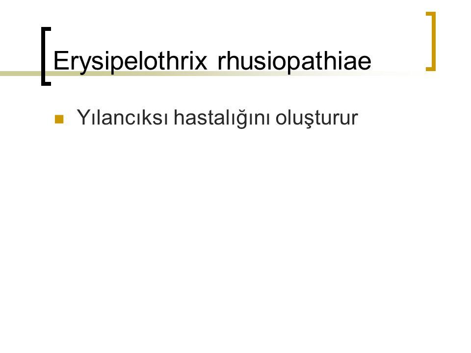 Erysipelothrix rhusiopathiae