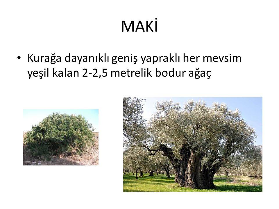 MAKİ Kurağa dayanıklı geniş yapraklı her mevsim yeşil kalan 2-2,5 metrelik bodur ağaç