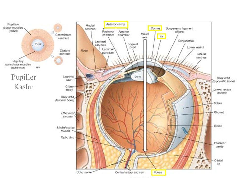 Pupiller Kaslar