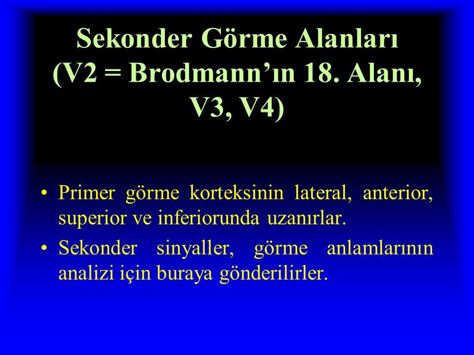 Sekonder Görme Alanları (V2 = Brodmann'ın 18. Alanı, V3, V4)
