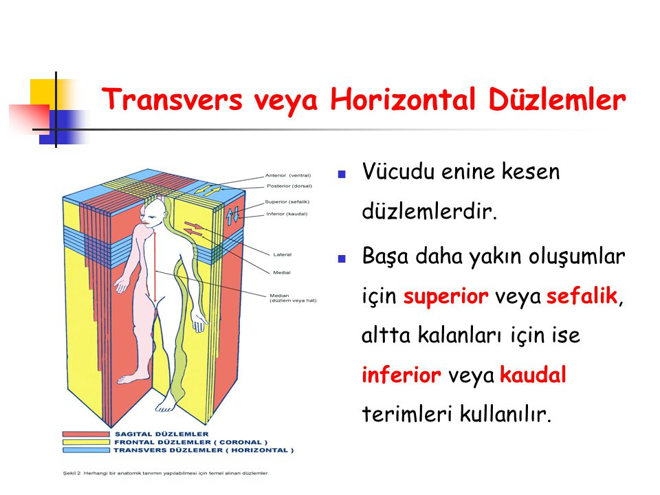 Transvers veya Horizontal Düzlemler