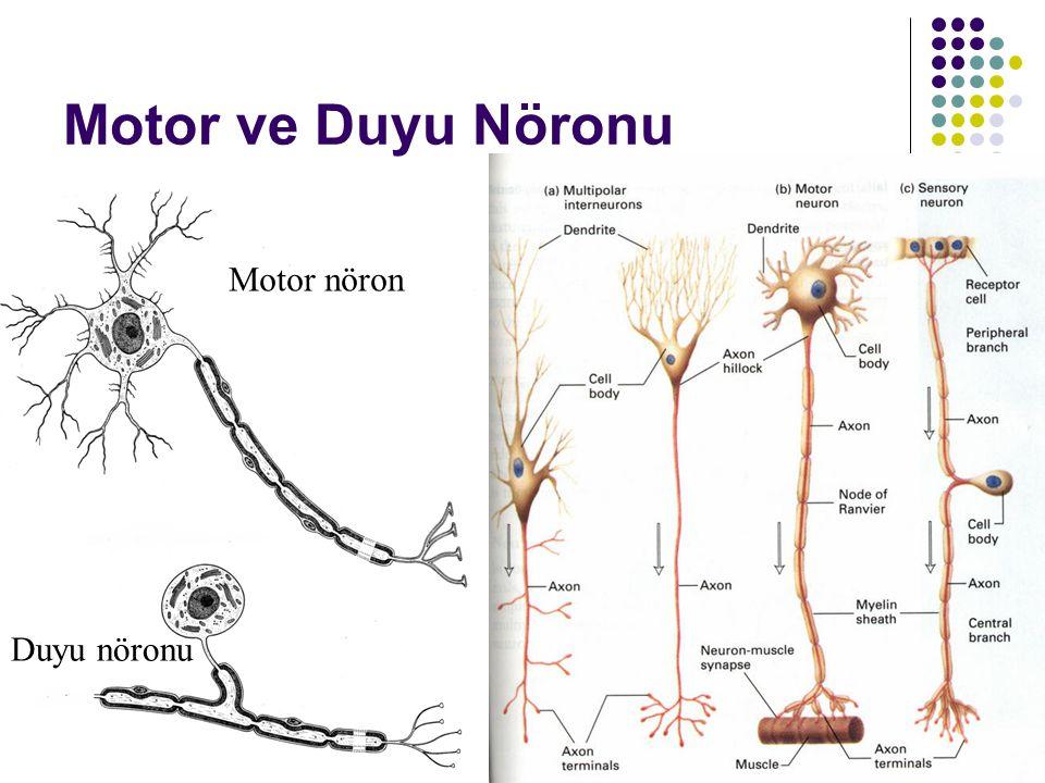 Motor ve Duyu Nöronu Motor nöron Duyu nöronu