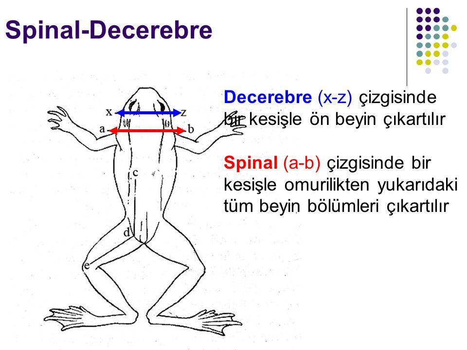 Spinal-Decerebre Decerebre (x-z) çizgisinde bir kesişle ön beyin çıkartılır.