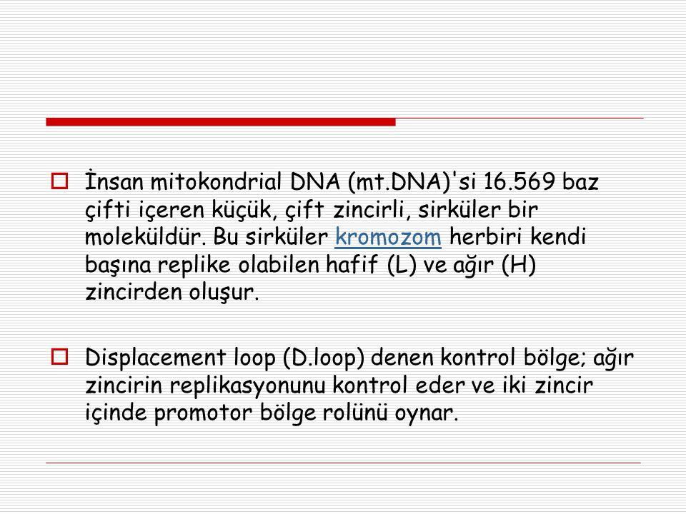 İnsan mitokondrial DNA (mt. DNA) si 16