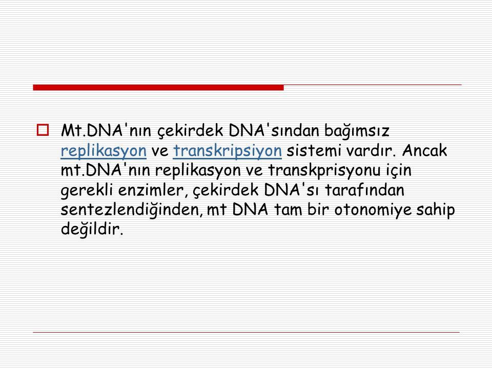 Mt.DNA nın çekirdek DNA sından bağımsız replikasyon ve transkripsiyon sistemi vardır.