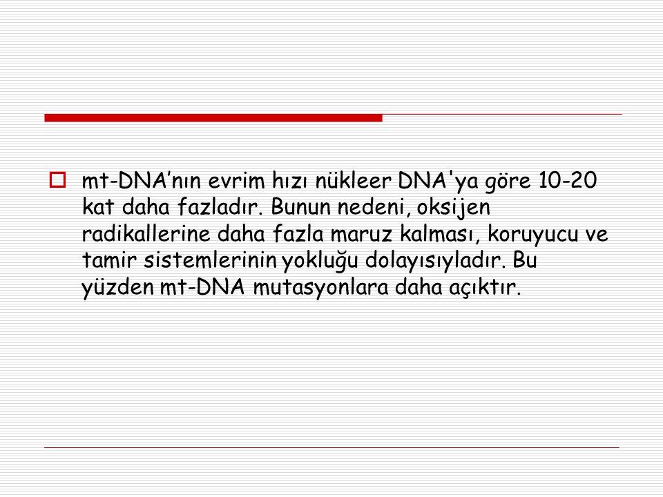 mt-DNA'nın evrim hızı nükleer DNA ya göre 10-20 kat daha fazladır