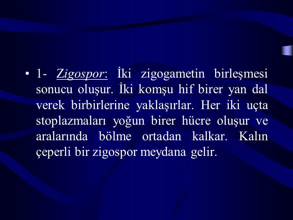 1- Zigospor: İki zigogametin birleşmesi sonucu oluşur