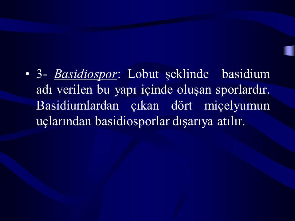 3- Basidiospor: Lobut şeklinde basidium adı verilen bu yapı içinde oluşan sporlardır.