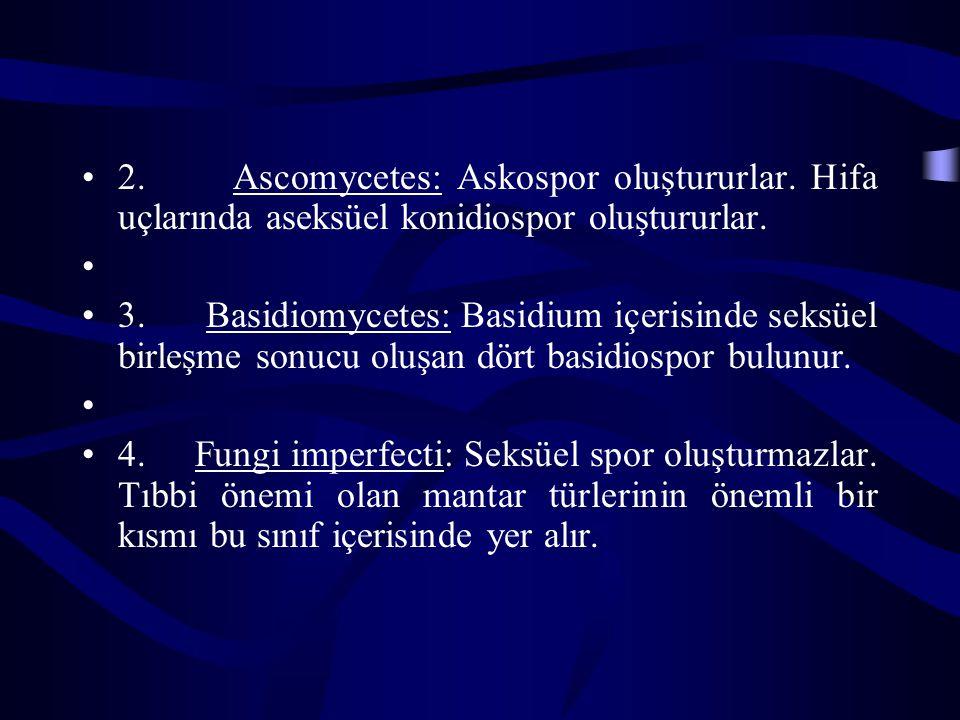 2. Ascomycetes: Askospor oluştururlar