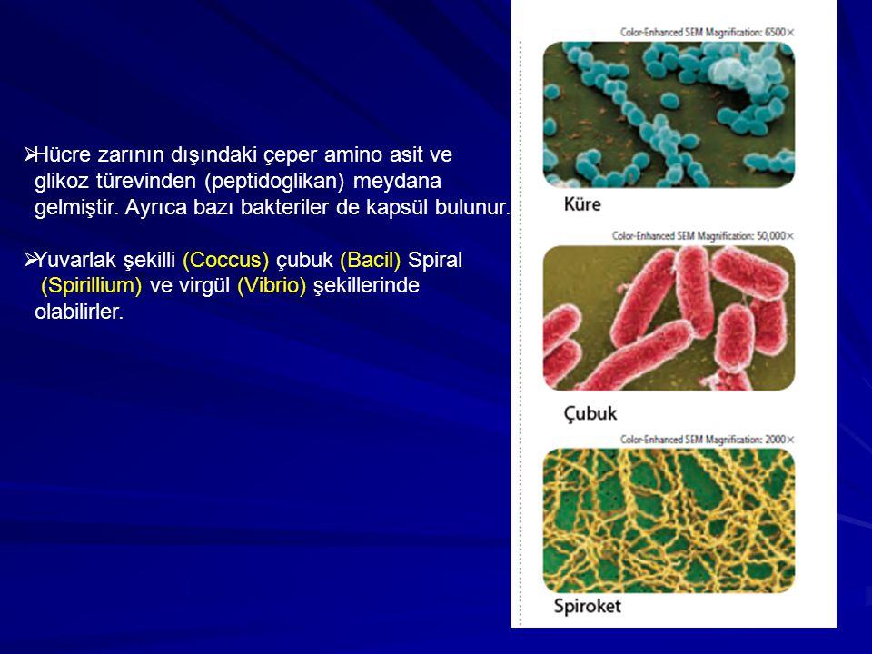 Hücre zarının dışındaki çeper amino asit ve