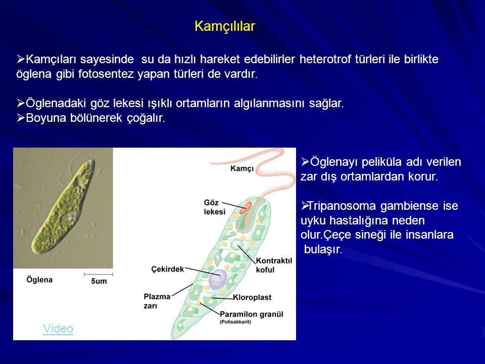 Kamçılılar Kamçıları sayesinde su da hızlı hareket edebilirler heterotrof türleri ile birlikte. öglena gibi fotosentez yapan türleri de vardır.